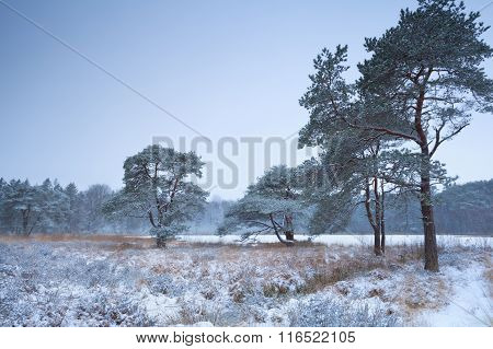 Pine Trees And Lake In Winter Snow