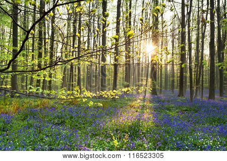Morning Sunlight In Forest With Bluebell Flowers