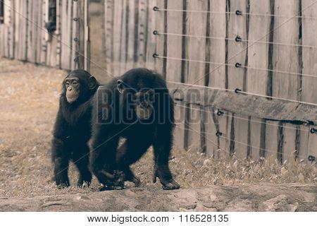 A wildlife shot of chimpanzees in captivity