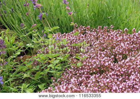Sage, lavender and wild thyme in eco -friendly backyard formal garden, vegetable garden. Herbarium.