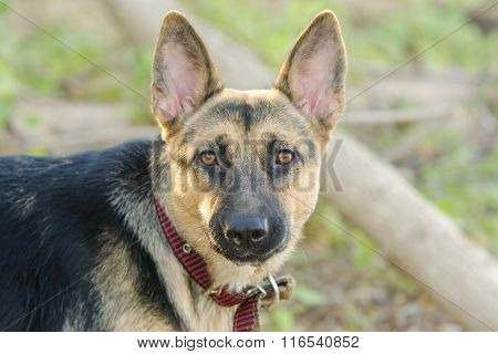 Portrait Of A Half-breed Dog Phases Yard And A German Shepherd