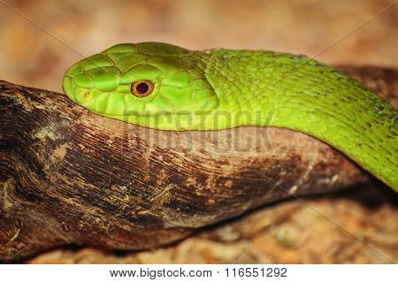 Eastern Green Mamba