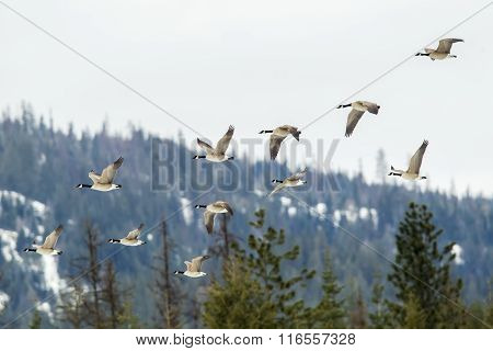 Geese Flying In Formation.