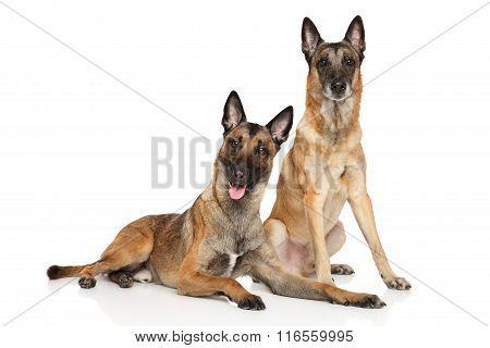 Two Belgian Malinois Shepherd Dogs