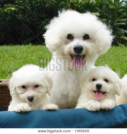 Bichon Mother With Puppies