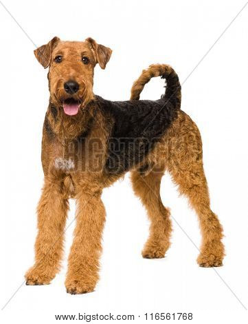 Cute Airedale Terrier isolated on white