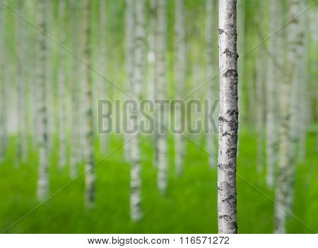 Birch Tree In Forest