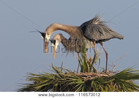 Great Blue Herons Displaying Courtship Behaviour At Their Nest