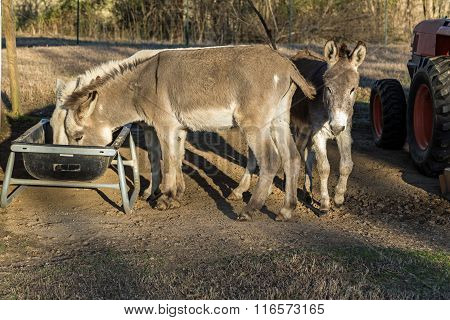 Feeding The Donkeys (equus Africanus Asinus)