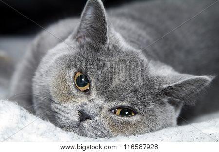 cat  British short