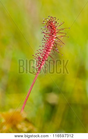 Carnivorous plant in the bog, natural environment. Drosera anglica - English sundew or great sundew. poster