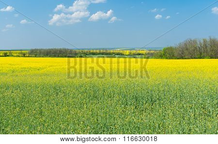 Spring landscape with flowering rape-seed fields in central Ukraine