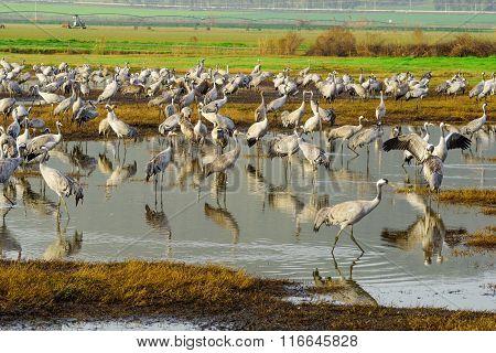 Crane Birds In Agamon Hula Bird Refuge