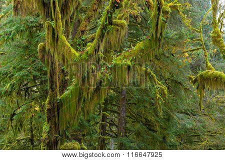 Hoh Rainforest view