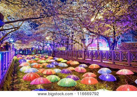 cherry blossoms sakura at night, busan city in south korea