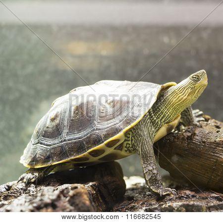 The Turtle Ocadia Sinensis.