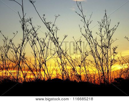 Silhouettes of delicate plants in front of colored sky.