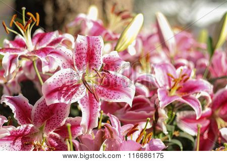 Pink Lilly Flowers Field