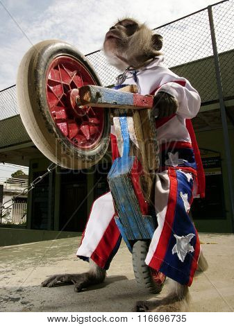 A monkey dressed as Evel Knievel in a stars-and-stripes outfit pulls a wheelie on a toy motorbike