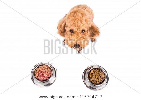 Poodle dog choosing between nutritious and delicious raw meat or dried pellets as meal