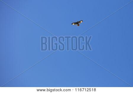 Flying Hawk At The Batiquitos Lagoon