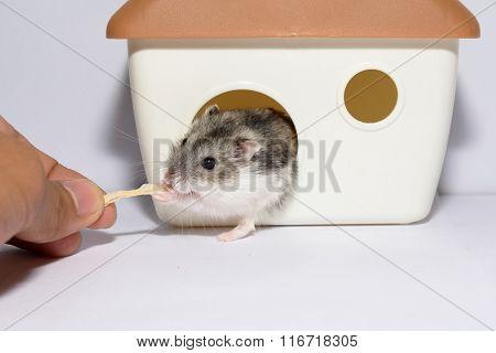 For Dessert  The Hamster