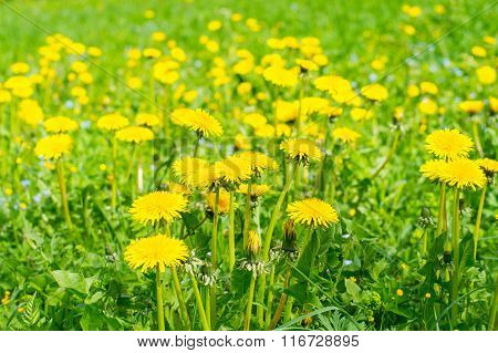 Field of abloom dandelions, spring-time background