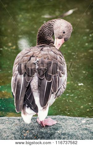 Greylag Goose Portrait (anser Anser), Animal Scene