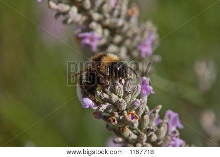 Beeslavender3