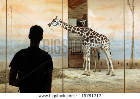 PRAGUE, CZECH REPUBLIC - JUNE 2, 2015: Visitor looks at the Rothschild's giraffe (Giraffa camelopardalis rothschildi) at Prague Zoo, Czech Republic.