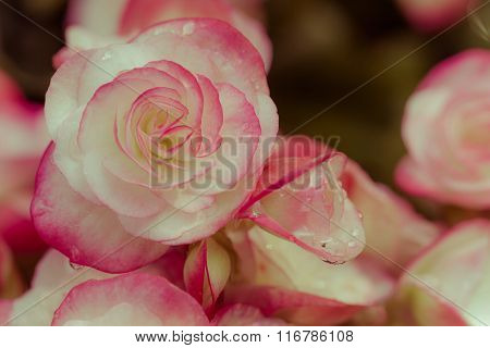 Close Up Fresh Pink Begonia Flower In The Park With Dew Drops, Vintage And Retro Style.
