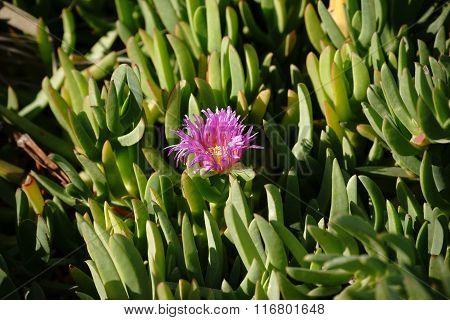 Purple flower Carpobrotus