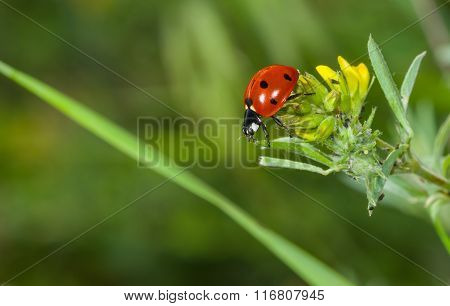 Ladybird in search of plant-louse on the wild flower in the summer garden