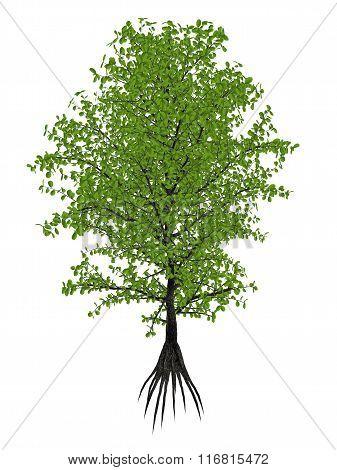 Aberia caffra, the Umkokola, Kei, Kai or Kau apple tree, Dovyalis caffra - 3D render