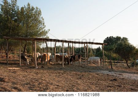 Istrian Ox, Protected Breed Of Cattle In Croatia