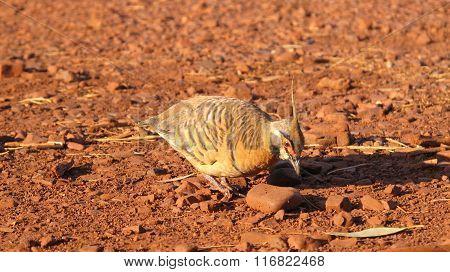 pinifex Pigeon (Geophaps plumifera)