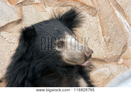 Sloth Bear ( Melursus Ursinus )