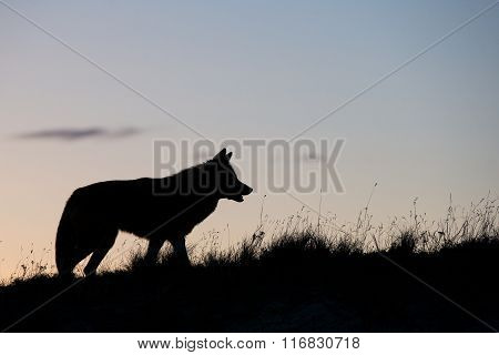 Silhouette Coyote standing in prairie grass