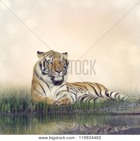 Tiger Resting Near a Pond