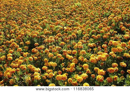 Marigold Flowers. Marigold Flowers In The Meadow In The Sunlight. Yellow Marigold Flowers In The Gar