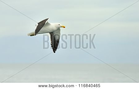 Portrait Of Flying Adult Kelp Gull (larus Dominicanus), Also Known As The Dominican Gull And Black B