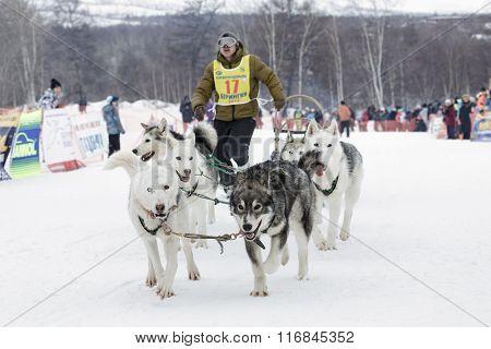 Kamchatka Dog Sled Race Beringia. Russia, Far East, Kamchatsky Krai