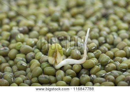 Closeup Mung Bean Sprout