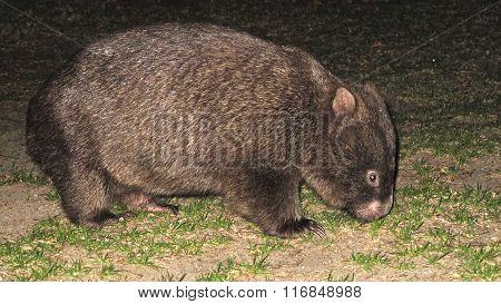 Wild Wombat in Victoria, Australia