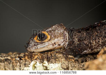 Head Of A Red Eyed Crocodile Skink