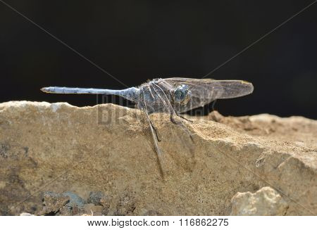Southern Skimmer Dragonfly