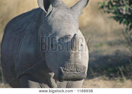 Baby White Rhino