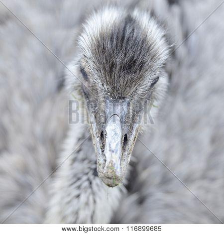 American Rhea