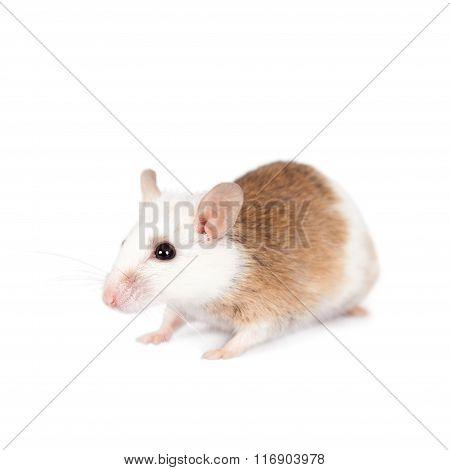 Natal multimammate mouse, mastomys natalensis, on white