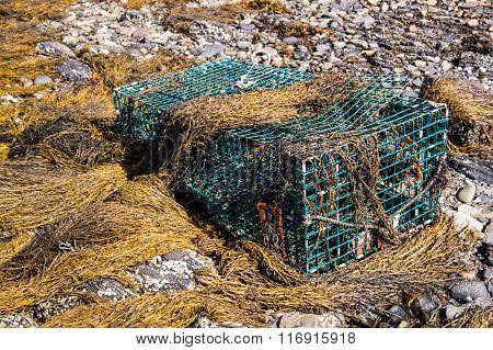 Lobster Trap In Seaweed